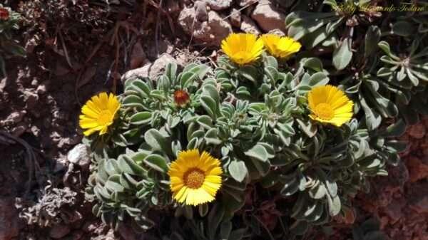 Asterisco-marittimo fiori e piante tra i sentieri siciliani